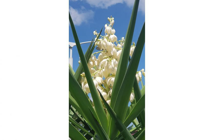 The Dendrobium secundum is commonly known as the toothbrush orchid due to the flower's resemblance to toothbrush bristles. It is native to Singapore and other countries in the region. The epiphyte grows best under partial sun and can be found on the