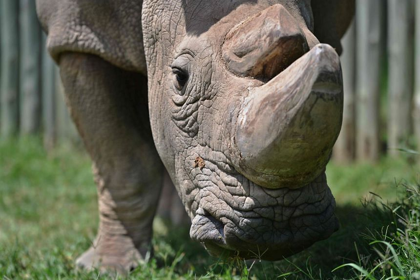 Sudan, the last known male of the northern white rhinoceros subspecies, grazing in 2016.