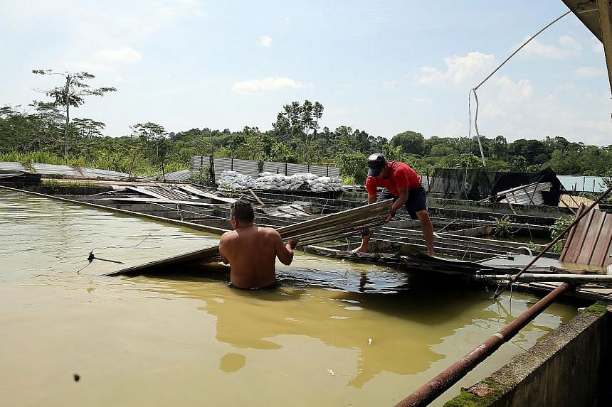 Chicken houses at Chew's Agriculture (above) were flattened by the rain and winds on Friday. Workers in the affected farms were seen clearing the debris, like a metal roof that had been blown into a fish pond (below).