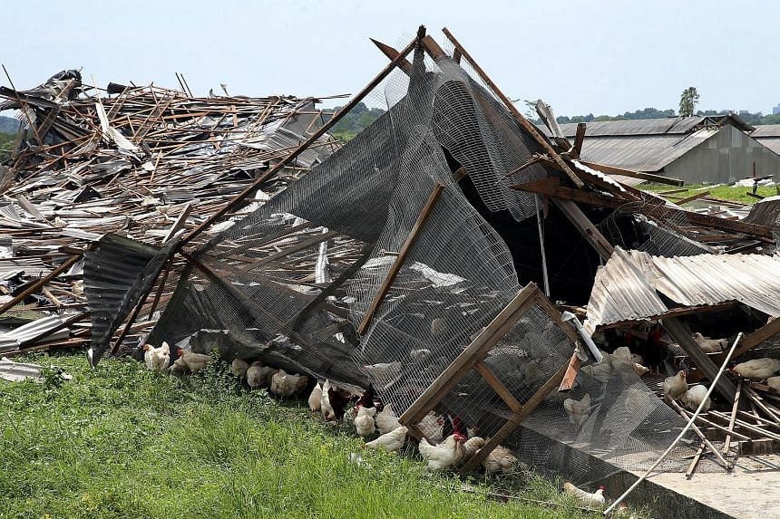 Several chicken barns at egg farm Chew's Agriculture were flattened.