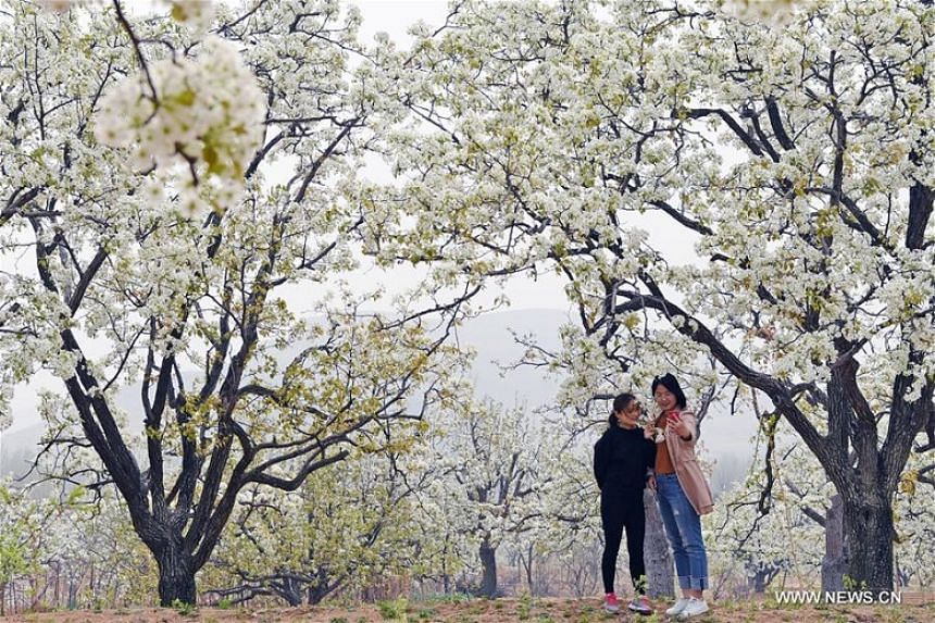 Visitors at a pear blossom garden in Xisibao village, Linyi city of East China's Shandong province, on March 29, 2018.