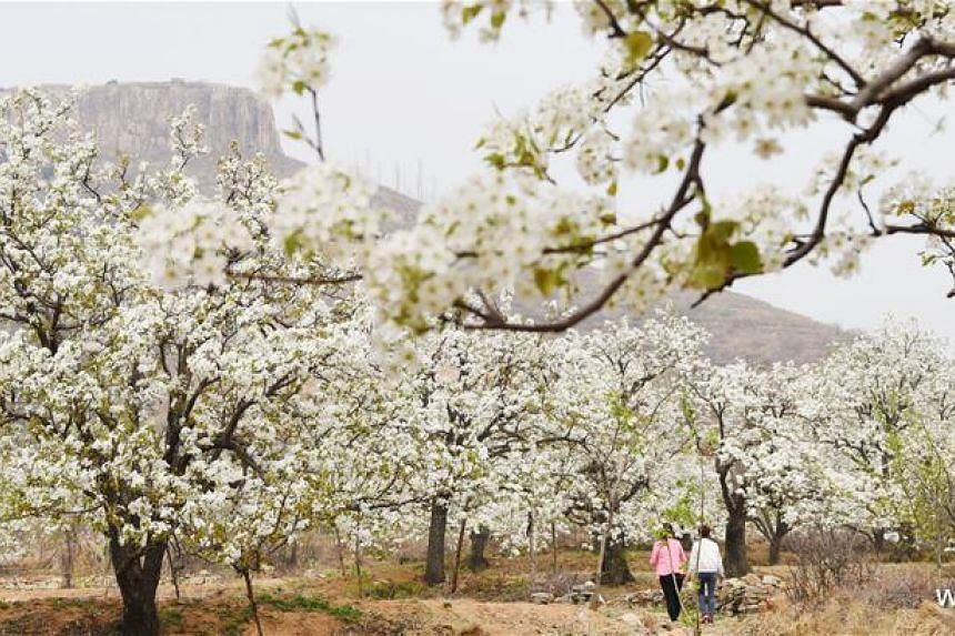 Pear blossoms in Xisibao village, Linyi city of East China's Shandong province, in late March, 2018