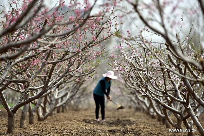 A farmer works in a peach garden in Matou town, Linyi city of East China's Shandong province, on March 29, 2018. More than 200 hectares of peach blossoms bloom here recently.