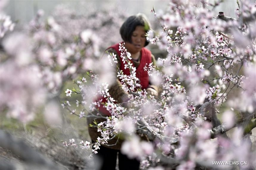 A farmer in a peach planting garden in Matou town, Linyi city of East China's Shandong province, on March 29, 2018. More than  200 hectares of peach blossoms are in bloom here recently.