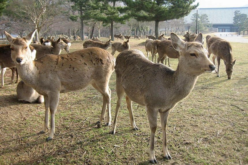 Nara Park in Japan's ancient capital is home to more than 1,000 deer, which can even be found roaming the streets in search of special tasty crackers offered by tourists.
