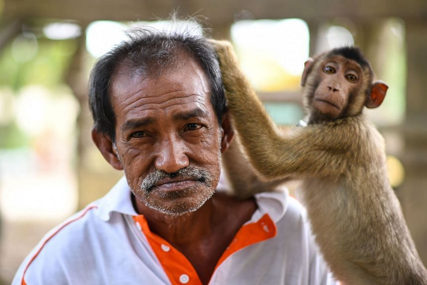 A pig-tailed macaque picking trainer Wan Ibrahim Wan Mat's hair in the village of Melor in the northern state of Kelantan, Malaysia, on Feb 8, 2018.