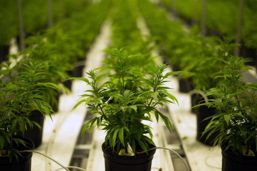 File photo showing marijuana plants being grown in a climate-controlled facility in Smith Falls, Canada.