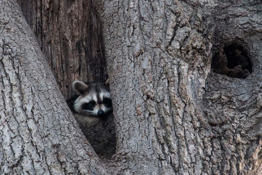 """Over the past two weeks, police in Youngstown, Ohio have responded to some fifteen calls from residents reporting sightings of """"zombie"""" raccoons."""