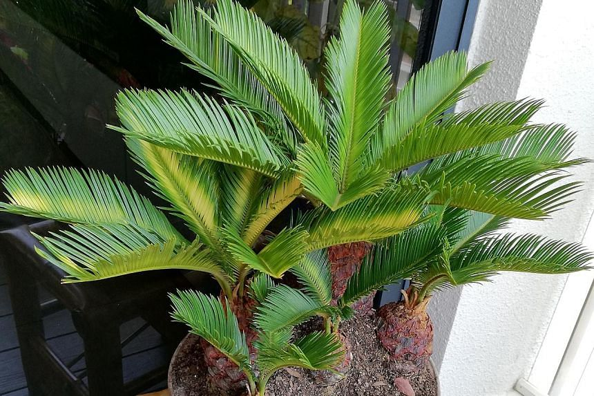 Sago Palm is deficient in nutrients