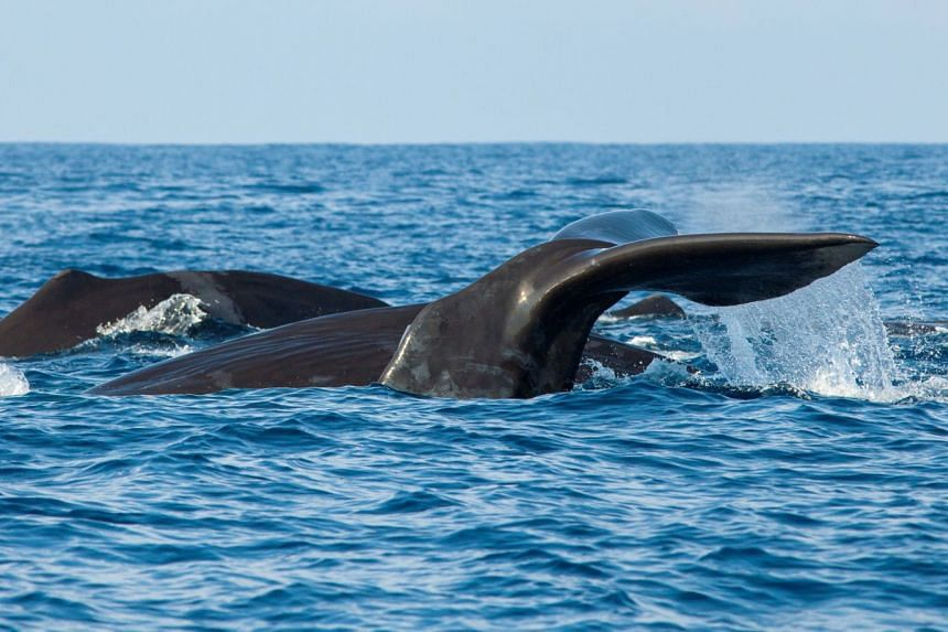 The fluke of a sperm whale sticks out of the sea as it dives among other resting whales off the coast of Mirissa, in southern Sri Lanka, on March 29, 2013.