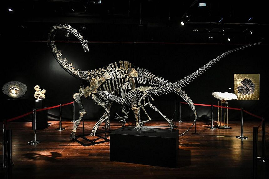 The skeletons of an allosaurus (front), expected to fetch €650,000 (S$1 million) and a diplodocus with a guide price of €450,000 to €500,000 are up for auction in Paris today, marketed as hip interior design items - for those with big enough li