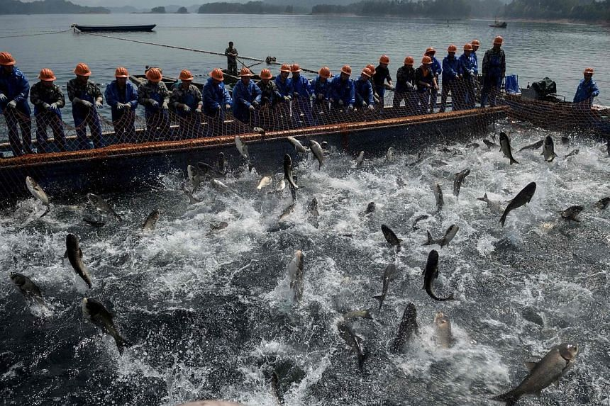 Chinese fishermen drawing a net with their catch at Qiandao Lake in Zhejiang province. Covering an area nearly the size of Singapore and known for its clear waters, the lake is a major aquaculture production centre for eastern China, and is notable f