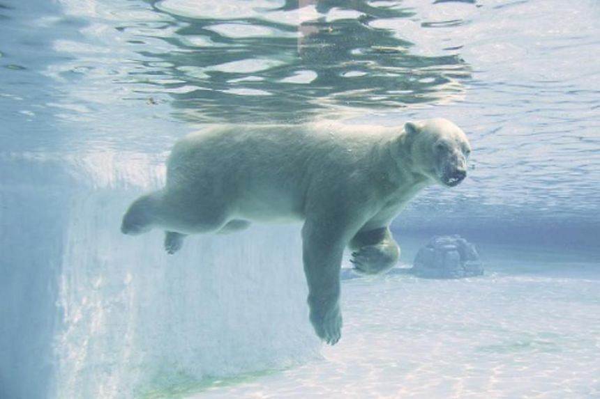 Born in 1990 at the Singapore Zoo in the early hours of Dec 26, Inuka would be well in its 70s if it were human.