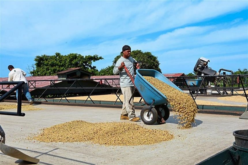 Workers at Greenwell Farm drying the coffee beans.