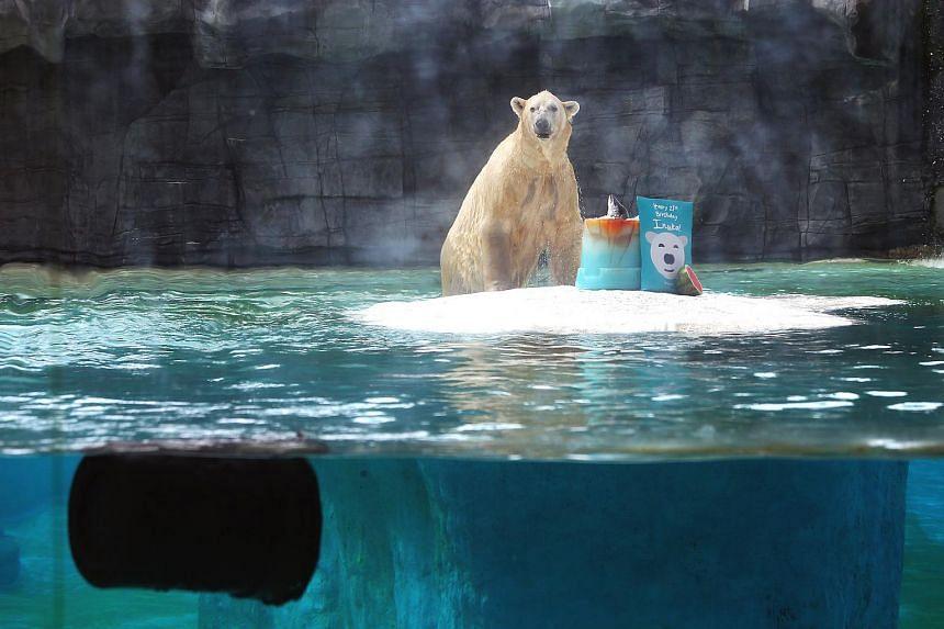 Inuka's 27th birthday celebration at the Singapore Zoo.
