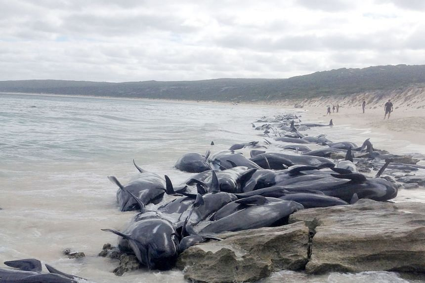 A passing fisherman found the whales beached en masse at Hamelin Bay, Western Australia, on March 23. So far, 131 whale carcasses have been removed amid fears that they would attract sharks.