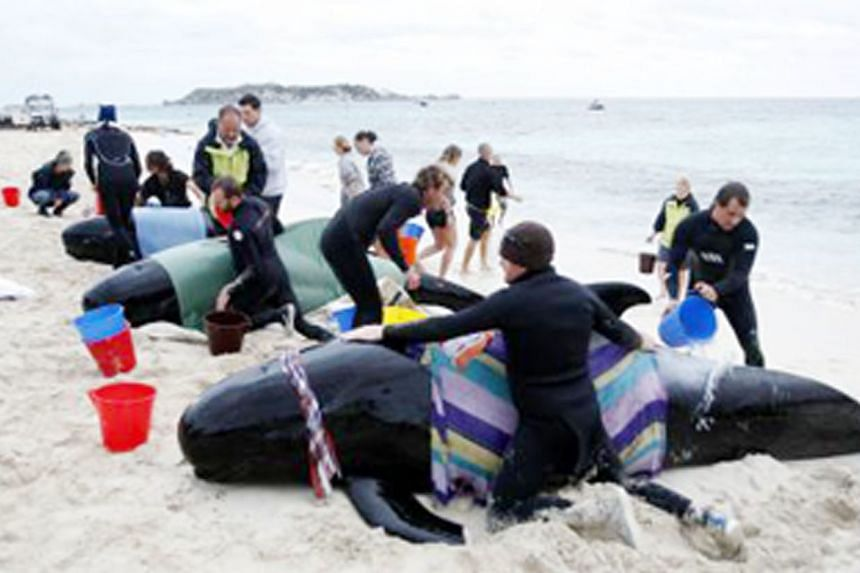 Rescue workers and volunteers struggling to save stranded whales at Hamelin Bay on March 23, 2009 - exactly nine years before last month's stranding. Scientists say there is no single explanation for the mass strandings.
