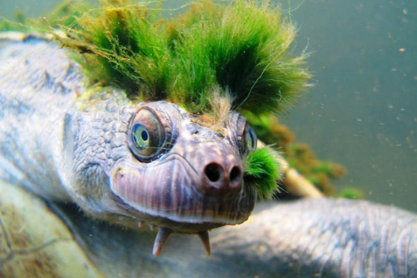 """The """"punk turtle"""" was this week ranked 29th on the Zoological Society of London's Evolutionary Distinct and Globally Endangered list."""