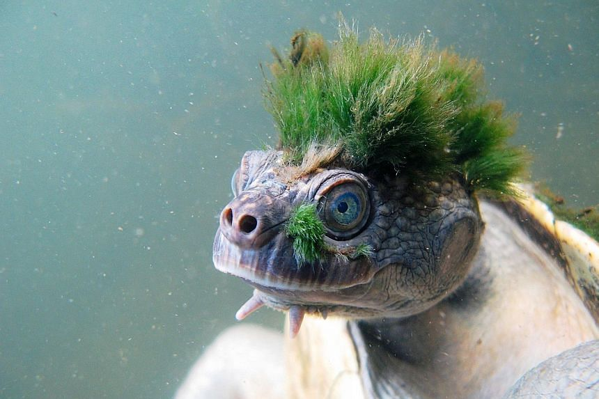 The Mary River Turtle is an Australian species that split from other living species about 40 million years ago. Its distinctive hairdo is actually algae that grow on its head.