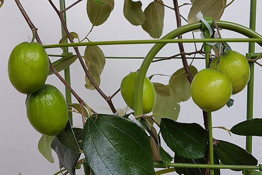 Water Indian Jujube well to encourage fruiting