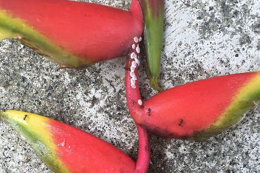 Heliconia rostrata infested with mealy bugs