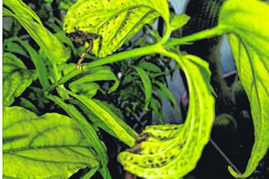 Plants under attack by spider mites (photo 3)