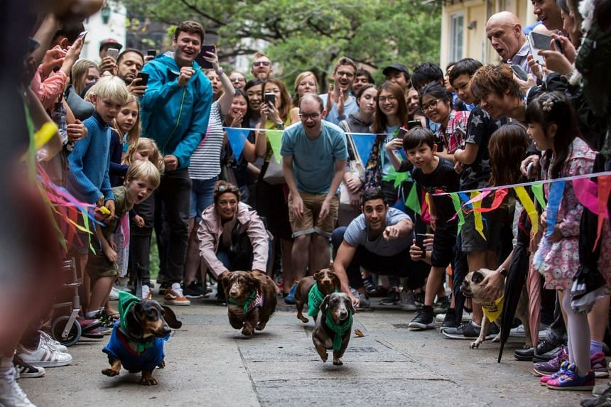 """Sausage dogs competing in the """"HK Doggie Dash 2018"""" in Hong Kong on April 15, 2018."""