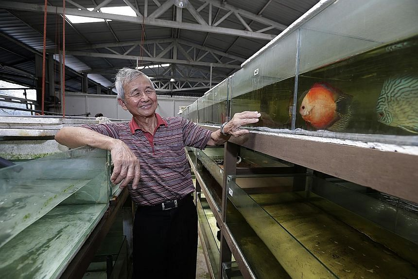 Mr Pek Leng Choon, 70, with his discus fish at Sunny Aquarium in Lim Chu Kang. Mr Pek got into the aquarium fish trade in 1968 and expanded his business overseas over the years.
