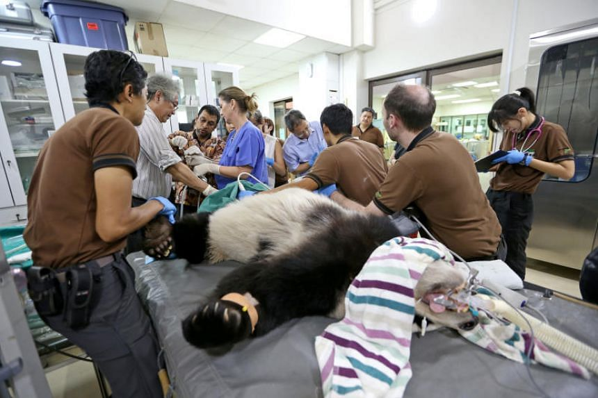 Senior veterinarian Abraham Mathew (third from left) delivering 5ml of milky liquid into Jia Jia. Beside him are obstetrics and gynaecology specialist Ng Soon Chye and Wildlife Reserves Singapore (WRS) director of conservation, research and veterinar