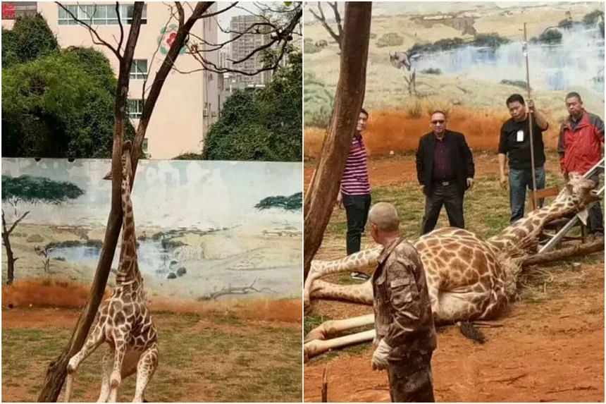 The tragedy happened on April 16 when the male giraffe was playing outside at Kunming Zoo while trying to scratch an itch on the tree.