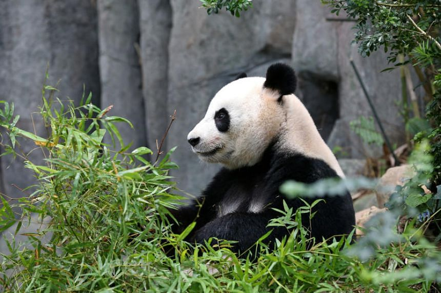 Jia Jia in her enclosure on April 18, 2018.