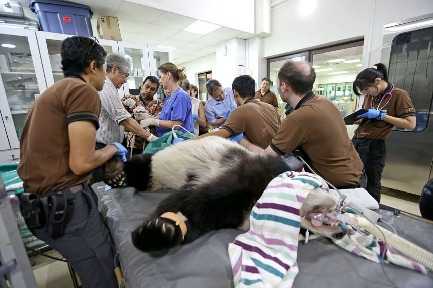 Senior veterinarian Abraham Mathew (third from left) delivering 5ml of milky liquid - Singapore's best hope of a giant panda baby - into Jia Jia. Beside him are obstetrics and gynaecology specialist Ng Soon Chye and Wildlife Reserves Singapore (WRS)