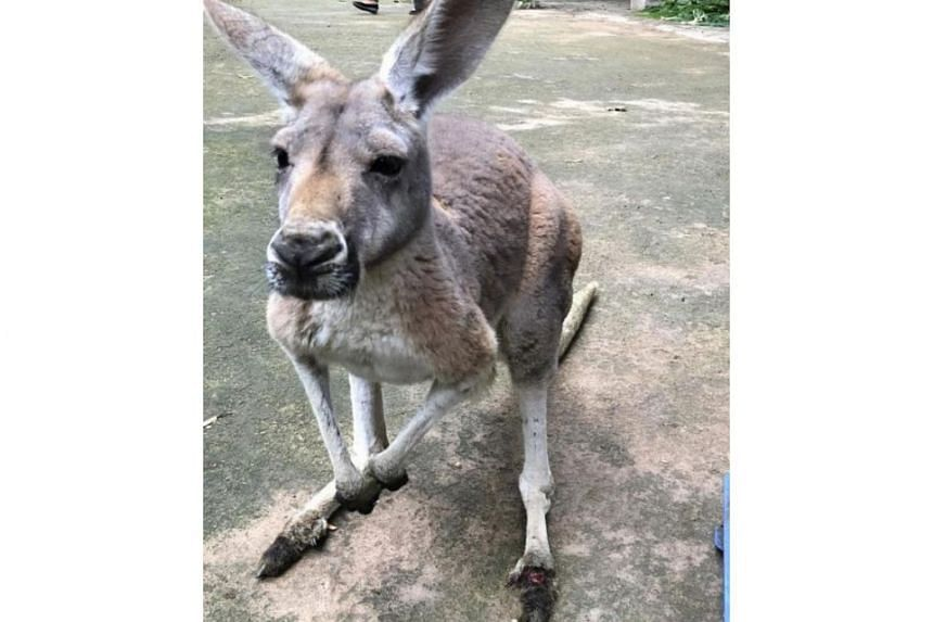 A 12-year-old female kangaroo suffered a severely injured foot when it was struck by bricks and concrete chunks at the Fuzhou Zoo in Fujian province.
