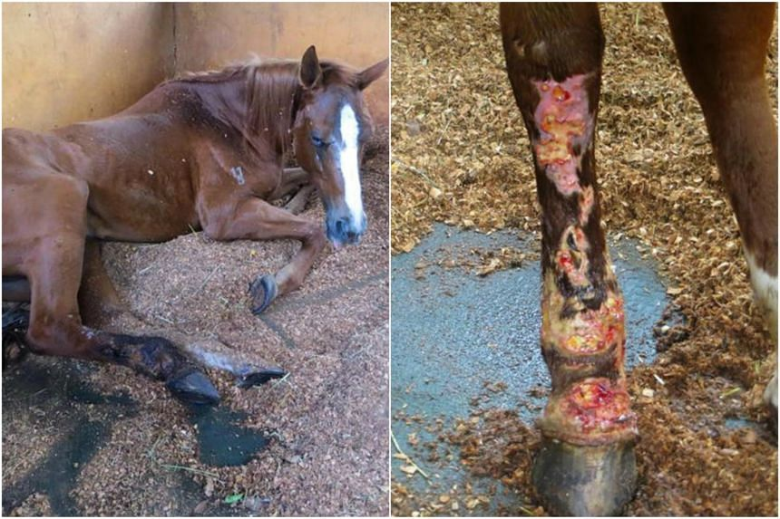 Gallop Stable was found guilty and fined $9,000 last year for cruelty towards a 17-year-old chestnut thoroughbred mare named Sharpy. The horse was found with severe inflammation and infection in its right hind leg with evidence of necrosis and a swol