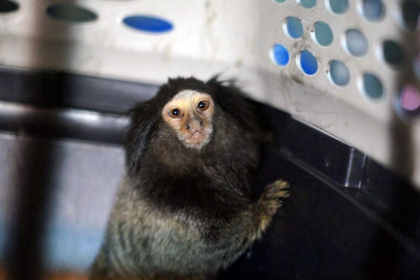 The black-tufted marmosets were rescued in a distressed state.