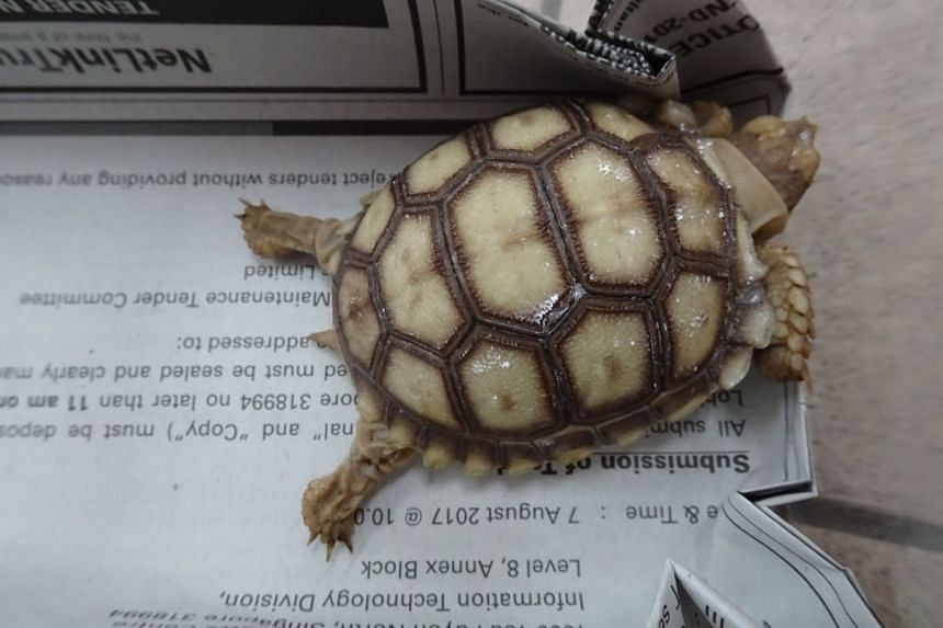 The animals found were an African spurred tortoise (pictured), a Mekong snail-eating turtle, a razor-backed musk turtle and a snake-necked turtle.
