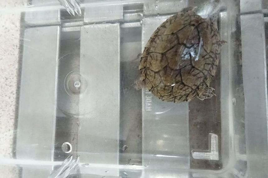 The animals found were an African spurred tortoise, a Mekong snail-eating turtle, a razor-backed musk turtle (pictured) and a snake-necked turtle.