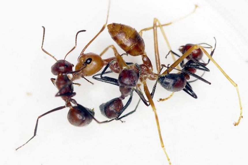 When threatened by other insects, the ants can rupture the wall of their body, which leads to their death and the release of a yellow toxin from their glands that either kills or holds off enemies.