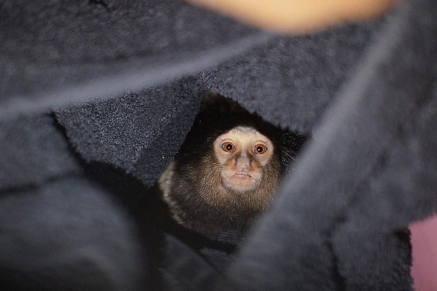 One of the abandoned marmosets rescued by Acres was kept in a plastic container typically used for storing food. The others were found in a wooden nest box usually used for birds, and a pet carrier.