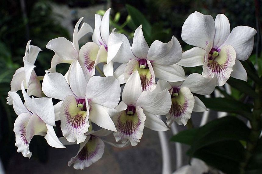 Mr Syed Yusof Alsagoff has helped to conserve heritage orchids through cloning and propagation, which helped contribute to the successful inscription of Singapore's Botanic Gardens as a Unesco World Heritage Site. Mr Yusof's orchid hybrids include De