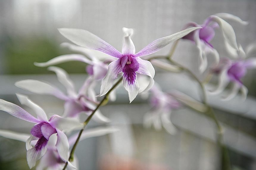 """The orchid collection of Mr Russell Tan (left, with the Dendrobium Cherry Song """"Bing Wei"""") includes the Dendrobium Caesar (above) and a peloric form of a Dendrobium hybrid (far left)."""