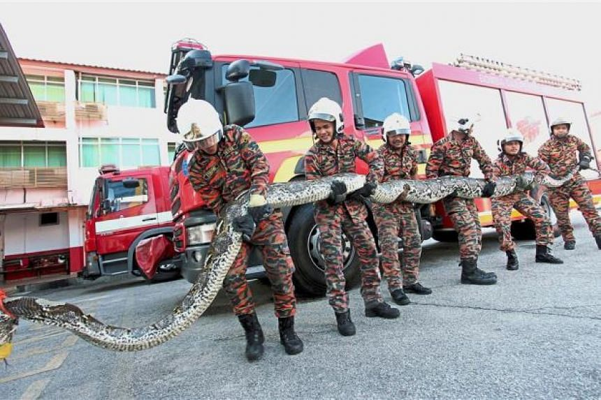 Eight personnel were sent to the scene to capture the snake.