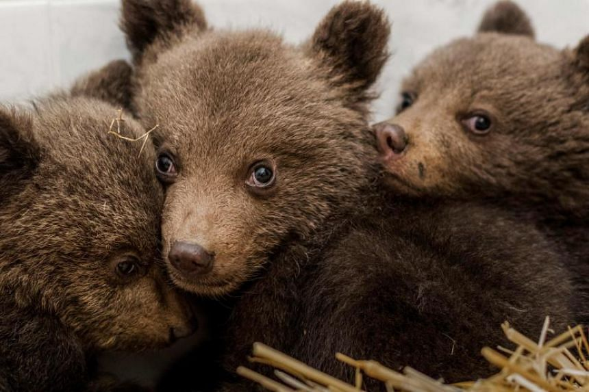 The brown cubs were sent to a sanctuary where vets found them to be suffering from stress but in relatively good health.