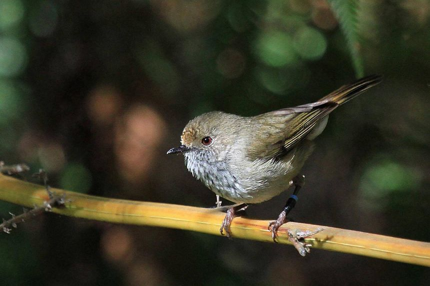 The most at-risk bird is the endangered King Island brown thornbill, found on an island off the island state of Tasmania.
