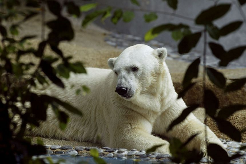 Inuka will not be buried. The zoo will perform a full autopsy on the polar bear and might preserve parts of it for educational purposes.