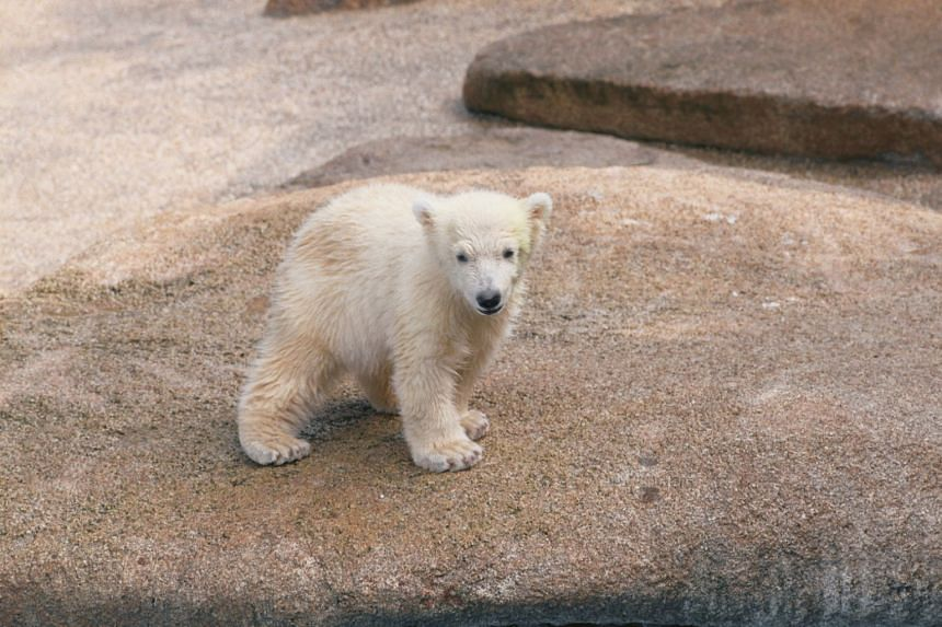 At 27, Inuka surpassed the average life expectancy of polar bears, which typically live 15 to 18 years in the wild and 25 years under human care.