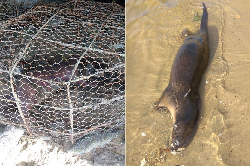 One otter was found trapped in an illegal fishing cage, and the other was seen on the beach near the cage.