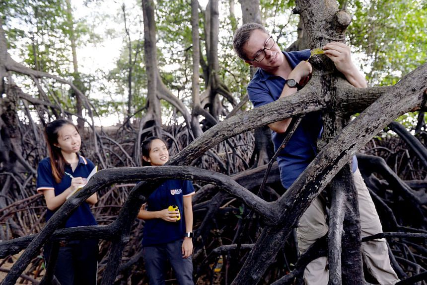 Mangroves are nursery grounds for young fish, which hide among the roots of the plants to protect themselves from predators. Associate Professor Daniel Friess with NUS students Seah Li Yi (left) and Aleena Kua, both 22, researching mangroves at Sunga