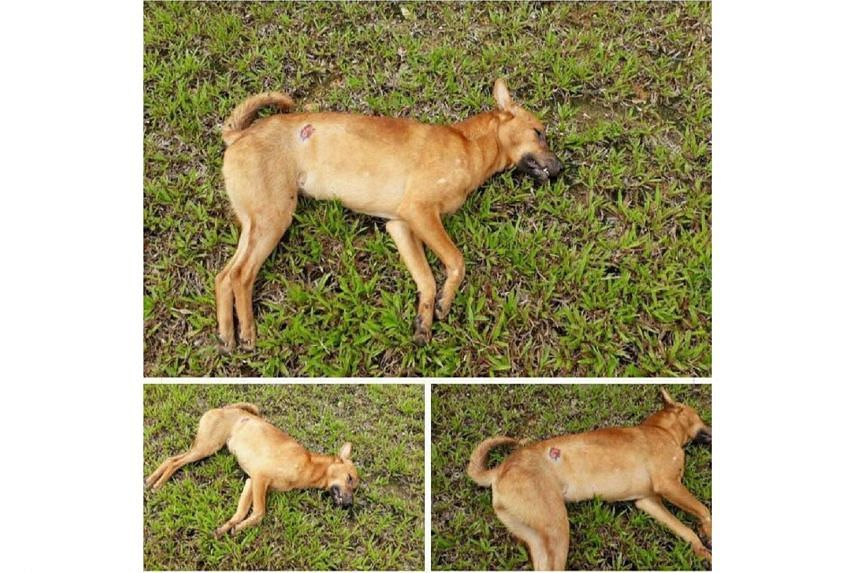 AVA said it did not receive any reports on the alleged poisoning of stray dogs in the area, and the carcass has reportedly been disposed of.