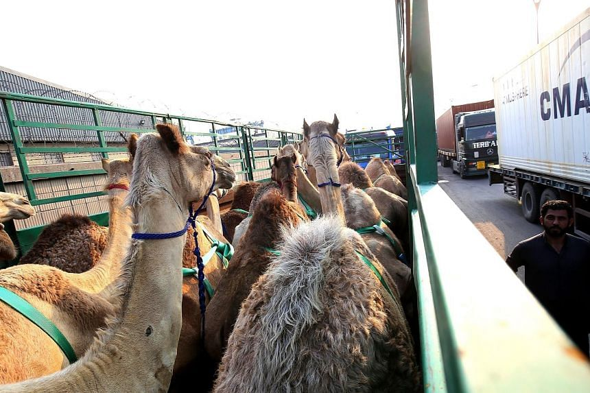 Camels belonging to Qatari owners stuck at Shuwaikh Port, Kuwait City, par for the course under the embargo against Qatar .